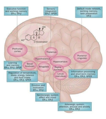 anatomical_to_diagrammatic_human_brain_page3