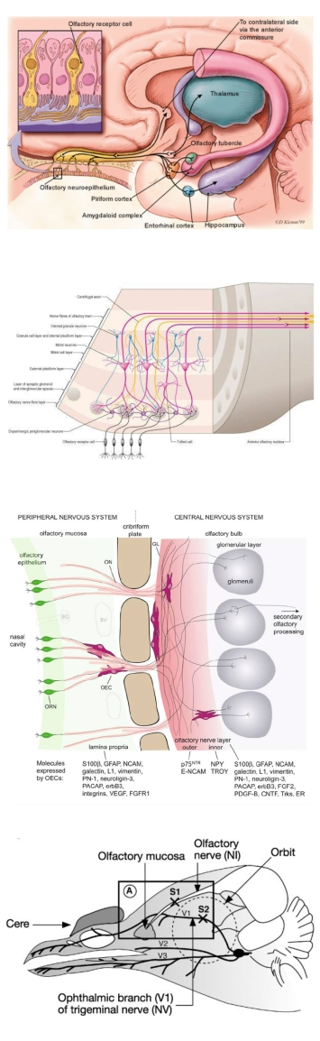 anatomical_to_diagrammatic_nerves_page2