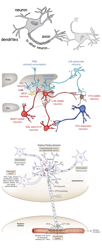 anatomical_to_diagrammatic_neurons_page1