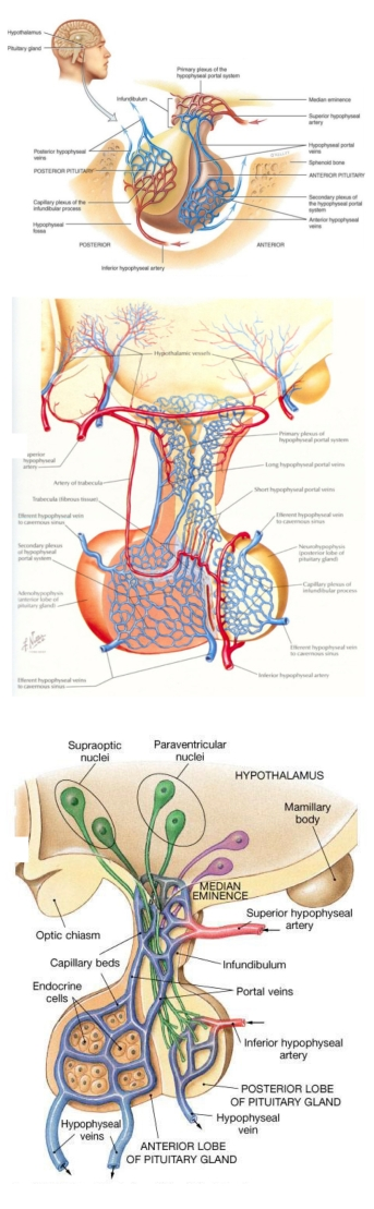 anatomical_to_diagrammatic_pituitary_page1
