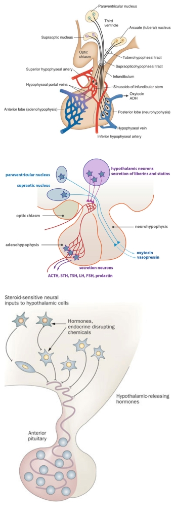 anatomical_to_diagrammatic_pituitary_page2