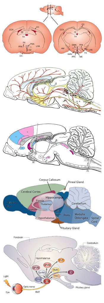 anatomical_to_diagrammatic_rat_brain_page1