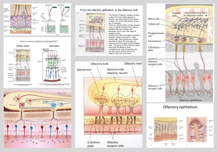 olfactory_epithelium_2D_x-section4