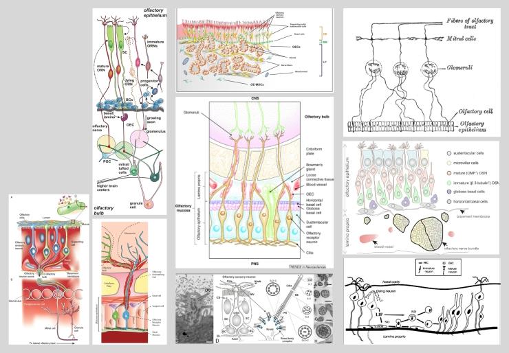 olfactory_epithelium_2D_x-section5