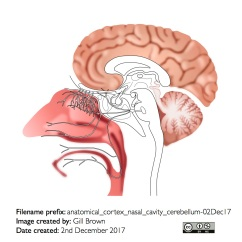 anatomical_cortex_nasal_cavity_cerebellum-02Dec17