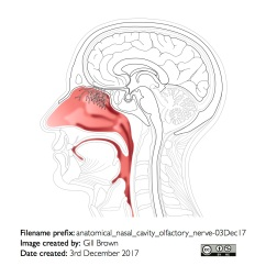 anatomical_nasal_cavity_olfactory_nerve-03Dec17