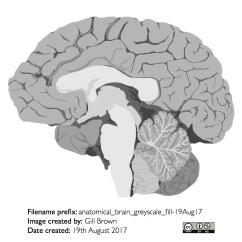 human_brain_gallery_image2-22Jan18