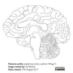 human_brain_gallery_image4-22Jan18