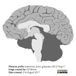 human_brain_gallery_image7-22Jan18