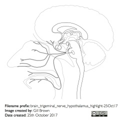 nerves_anatomical_gallery_image10-22Jan18