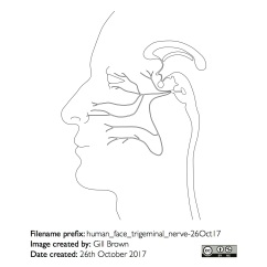 nerves_anatomical_gallery_image13-22Jan18