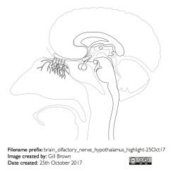 nerves_anatomical_gallery_image8-22Jan18
