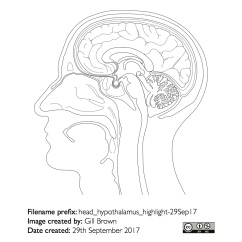 hypothalamus_anatomical_outline_gallery_image2-22Jan18
