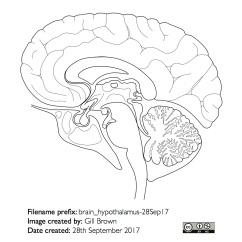 hypothalamus_anatomical_outline_gallery_image3-22Jan18
