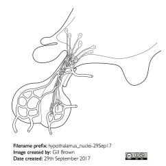 hypothalamus_anatomical_outline_gallery_image6-22Jan18