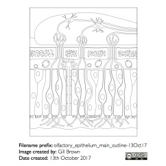 olfactory_epithelium_anatomical_diagrammatic_gallery_image1-22Jan18