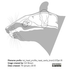 rat_head_profile_nasal_cavity_brain2-07Jan18
