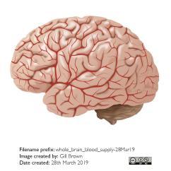 ageing_brain_gallery_image1-25Jul19